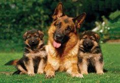 cachorras pastor aleman - Buscar con Google