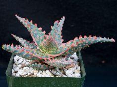 Aloe 'Oik', a K. Zimmerman hybrid