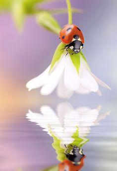 Ladybug and its reflection – Untitled by Tomasz Skoczen #Photography #BugPhotography