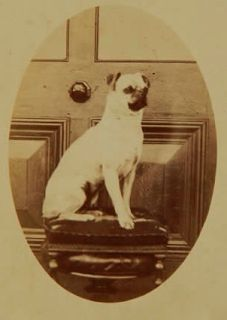 Like many of our contemporary lap dogs, the Pug has gotten smaller with more exaggerated features. Today the Pug weighs between 14 and 18 pounds and stands between 12 and 14 inches tall, much smaller than the dog in this Victorian photo.