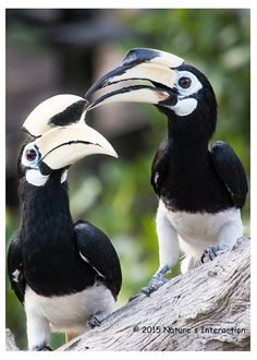 Set of quantity 5: Borneo Hornbill Duo Photo by NaturesInteraction