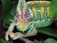 animals reptiles #animals #reptiles #chameleon