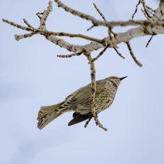 もっと寄れるレンズが必要だ  #ヒヨドリ#bulbul #野鳥#Wildbird#bird#birdwatching #動物#animal #かわいい#kawaii#cute #風景#自然#景色#picture#landscape#nature #東京#日本#tokyo#japan#love#loves_nippon #写真好きな人と繋がりたい