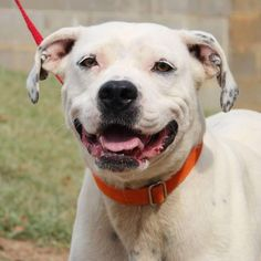 Meet Dottie, a Petfinder adoptable American Bulldog Dog | Enterprise, AL | Dottie is a 1 year old female Bulldog mix. She is extremely friendly and loves human...