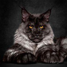 LeMaine Coon est sans doute l'une des races de chats les plus impressionnantes, à commencerpar sa taille. Le photographeRobert Sijka, basé à Hong Kong,