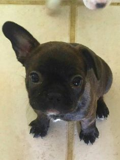 Sierra, the Frenchton Puppy, French Bulldog and Boston Terrier Mix.