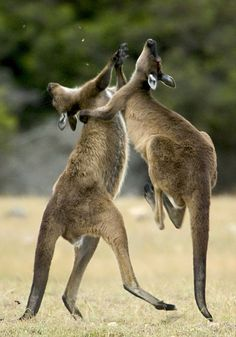Two kangaroos fight on Kangaroo Island in Australia