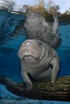 November is Manatee Awareness Month, which makes it the perfect time to celebrate these gentle giants and the conservation efforts to protect them. These aquatic mammals have elongated round bodies. Vida Animal, Mundo Animal, Water Animals, Animals And Pets, Beautiful Creatures, Animals Beautiful, Majestic Animals, Beluga, Sea Cow