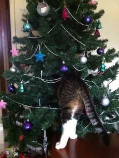from Ellen's show page: Gemma P. from Birmingham Gardens, Newcastle sent in this photo of her cat, Gizmo, inspecting their Christmas tree. This may not be Gizmo's best angle.