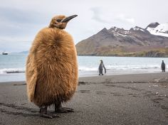 Picture of a king penguin chick on South Georgia Island