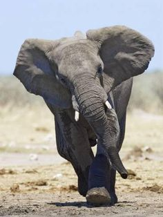 Tony Heald: African Elephant, Charging, Etosha National Park, Namibia, x Photographic Print Photo Elephant, Asian Elephant, Elephant Love, Elephant Art, Elephant Poster, All About Elephants, Save The Elephants, Baby Elephants, Beautiful Creatures