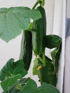 Cucumber Varieties—'Bush Slicer'