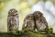 Kuschelig Photo & image by Simone Baumeister ᐅ View and rate this photo free at fotocommunity. Owl Photos, Owl Pictures, Cute Animal Pictures, Animals And Pets, Baby Animals, Cute Animals, Beautiful Owl, Animals Beautiful, Owl Bird