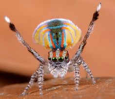 _MG_9788 peacock spider Maratus volans, via Flickr. This is the coolest spider on the planet !