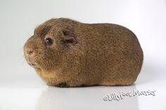 Lillyfoot Glatthaar Meerschweinchen in Schoko-Buff-Agouti. :o))