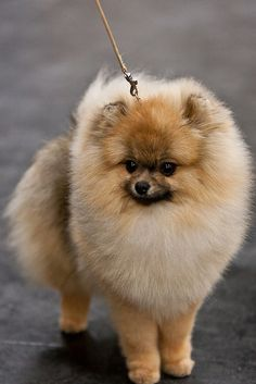 Beautiful Pom