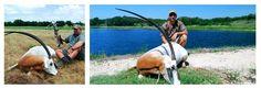 Scimitar Oryx Hunting at V-Bharre Ranch in Texas.