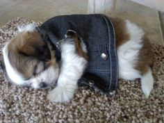 """Learn even more info on """"shih tzu puppies"""". Look into our website. Chien Shih Tzu, Shih Tzu Hund, Shih Tzu Puppy, Shih Tzus, Shitzu Puppies, Puppies And Kitties, Cute Puppies, Cute Dogs, Doggies"""