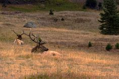 Colorado Resting Elk at Sundown Photo Art Print by Julie Magers Soulen