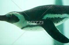 side view of a swimming penguin - A Penguin's body is designed for agility under water.