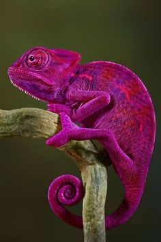 Shared by Galaxy Reptiles (I can't decide if this is ugly or beautiful)
