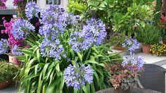 Agapanthus: Pflege und Überwinterung - Mein schöner Garten