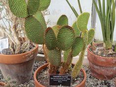 Cinnamon cactus