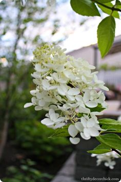 The best tips and tricks for growing beautiful hydrangeas. Pee Gee Hydrangea, Hydrangea Bloom, Hydrangeas, Thrifty Decor Chick, Outdoor Projects, Outdoor Ideas, Outdoor Spaces, Do It Yourself Projects, Garden Landscaping
