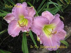 Violet Patch  Spalding, W.,  1993-Daylily;Daylilies;Violet Patch Daylily;W. Spalding 1993 Daylily;Extended Blooming Time Daylily;Very Green Throat Daylilies;
