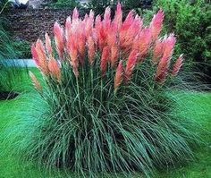 """'Pink Flamingo Muhly Grass' plant against house(leesburg gets too much rain) full sun, H 4-5' W 15-18"""", drought & heat resistant"""