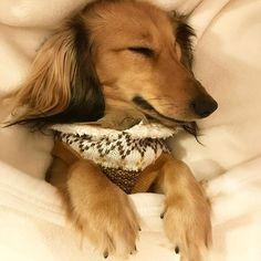 寝んねしてるのでブランケット掛けたら、前足かわいい〜😍❤️💕 #カニンヘンダックス  #ダックスフンド  #ダックスフント #dachshund  #前足にキュンキュン💕  #親バカ部  #愛犬  #癒し犬