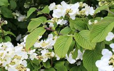 Climbing hydrangea - the best climbing plants for shade TV Gardener David Domoney chooses the best climbers for shade gardens. Cover a shady wall or fence with these hardy climbing plants. Hydrangea Shade, Climbing Hydrangea, Climbing Flowers, Shade Flowers, Climbing Vines, Pretty Flowers, Hydrangea Petiolaris, Climbing Shade Plants, Climbers For Shade