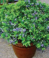 How-To, Growing Tips & Recipes - Growing Bluberries in Containers Article at Burpee.com
