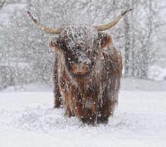 Blast from the Arctic ! British newspaper forecasts freezing conditions . Highland cattle have thick coats , but this one looks frost bound. . snowexpress.co.uk