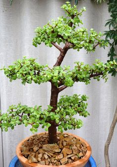 Portulacaria afra bonsai - 60cm  Example of what I don't like in a pattern
