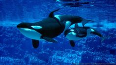 Mother and calf in captivity (Credit: Brandon Cole Marine Photography/Alamy Stock Photo)
