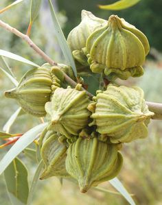 Mallee flower buds - operculum still present