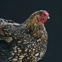 Golden Laced Wyandotte Hen