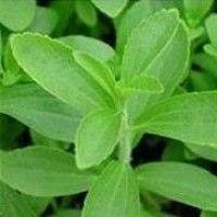Planta de Stevia Rebaudiana en Maceta de 13X13 Cen+Folleto