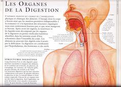 Description de La digestion des aliments dans notre système digestif.