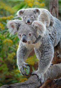 Backseat driver | Cambee, a Queensland koala, takes the scenic route with her joey at the San Diego Zoo.