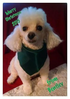 Thank you Beth for sharing Bentley with The Poodle Patch Community...  He looks well dressed for the season and wishing all  a Very Merry Christmas...