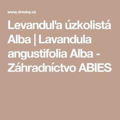 Levanduľa úzkolistá Alba | Lavandula angustifolia Alba - Záhradníctvo ABIES