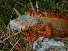 Erythristic Iguana