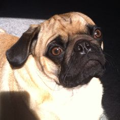 Charlie the pug basking in the sun