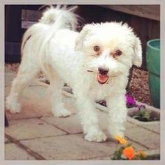 Brucer #maltipoo #dogs #cute