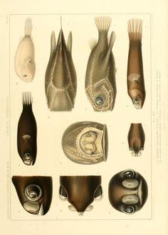 """bd. 15, T. 1 - Wissenschaftliche Ergebnisse der Deutschen Tiefsee-Expedition auf dem Dampfer """"Valdivia"""" 1898-1899. - Biodiversity Heritage Library"""