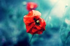 Focus on Poppies Nature Blue Background HD Wallpaper