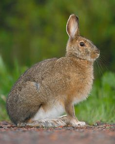The snowshoe hare changes color from brown to snow white in winter. That way it blends in with the Canadian taiga, a harsh biome of deep snowfall and below-freezing temperatures for over half the year.