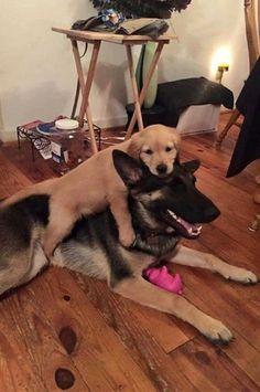 German Shepherd and his friend - a Golden Retriever puppy!